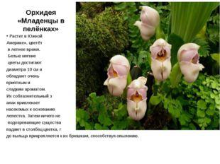 Орхидея «Младенцы в пелёнках» Растет в Южной Америке», цветёт в летнее время.