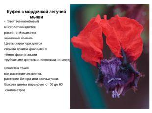 Куфея с мордочкой летучей мыши Этот теплолюбивый многолетний цветок растет в