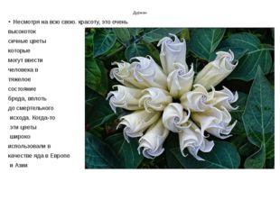 Дурман Несмотря на всю свою. красоту, это очень высокоток сичные цветы которы