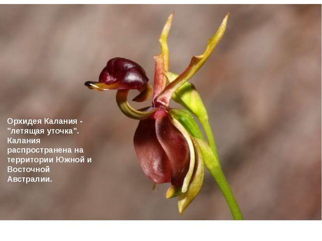 """Орхидея Калания - """"летящая уточка"""". Калания распространена на территории Южн..."""