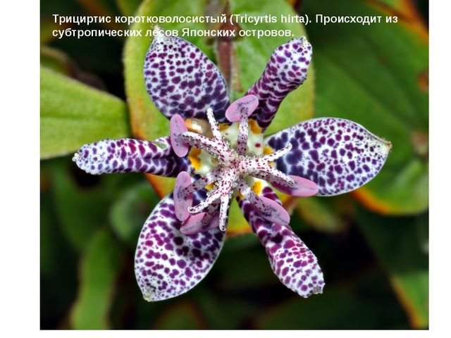 Трициртис коротковолосистый (Tricyrtis hirta). Происходит из субтропических...