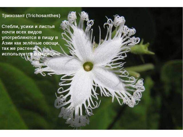 Трихозант (Trichosanthes) Стебли, усики и листья почти всех видов употребляю...