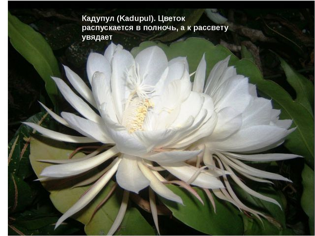 Кадупул (Kadupul). Цветок распускается в полночь, а к рассвету увядает