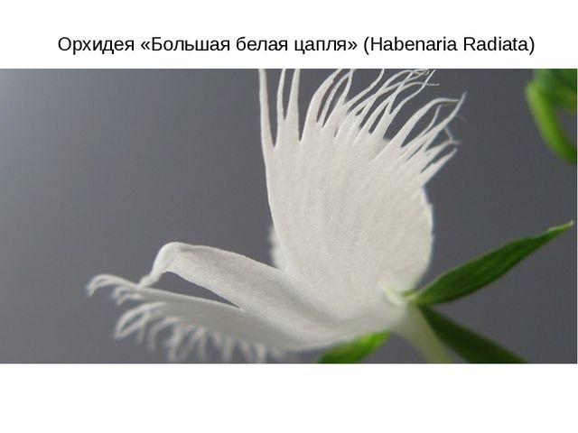 Орхидея «Большая белая цапля» (Habenaria Radiata)