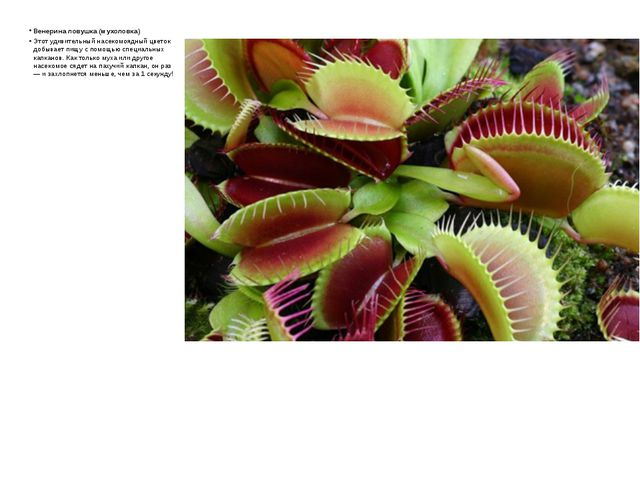 Венерина ловушка (мухоловка) Этот удивительный насекомоядный цветок добывает...