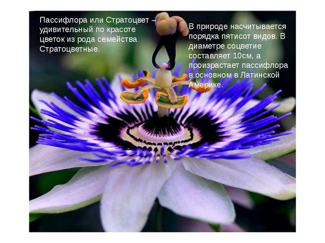Пассифлора или Стратоцвет – удивительный по красоте цветок из рода семейства...