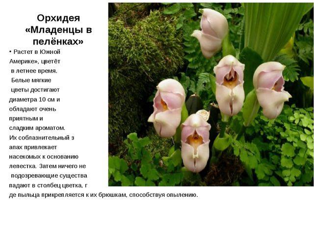 Орхидея «Младенцы в пелёнках» Растет в Южной Америке», цветёт в летнее время....