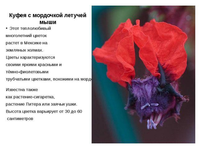 Куфея с мордочкой летучей мыши Этот теплолюбивый многолетний цветок растет в...