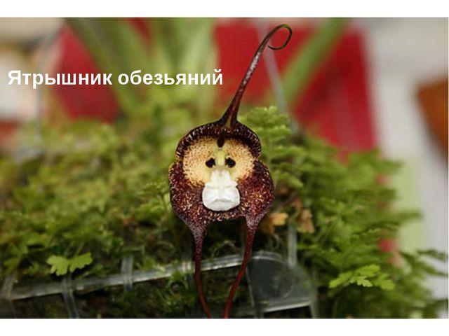 Ятрышник обезьяний