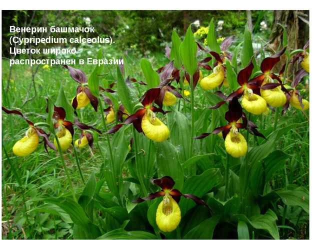 Венерин башмачок (Cypripedium calceolus). Цветок широко распространен в Евра...