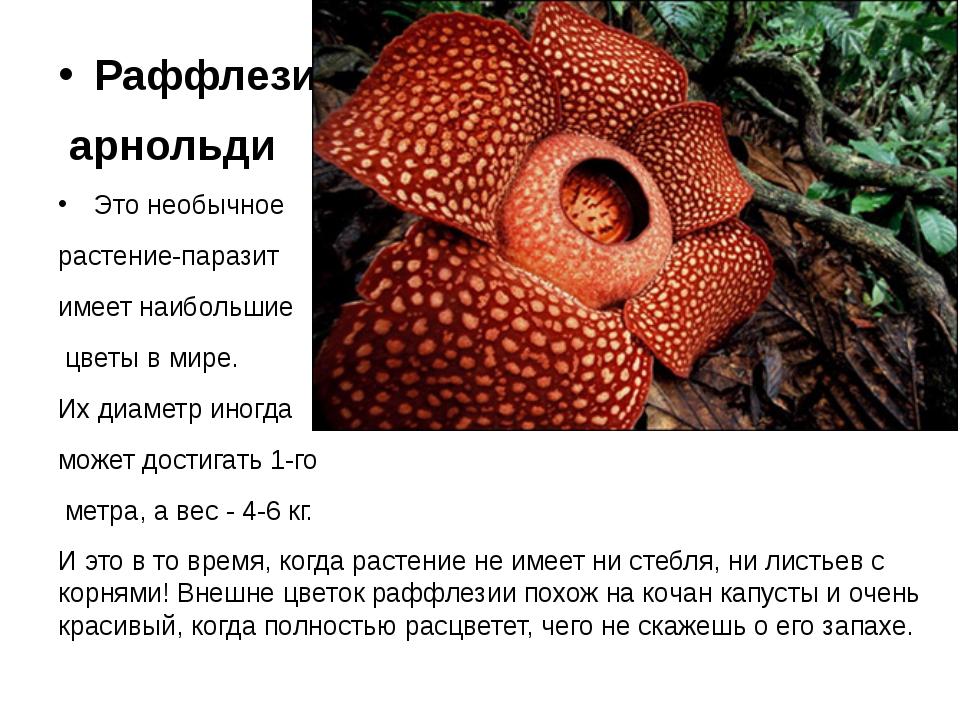 Раффлезия арнольди Это необычное растение-паразит имеет наибольшие цветы в м...