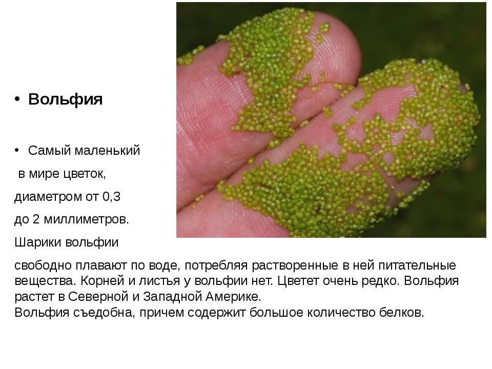 Вольфия Самый маленький в мире цветок, диаметром от 0,3 до 2 миллиметров. Ша...