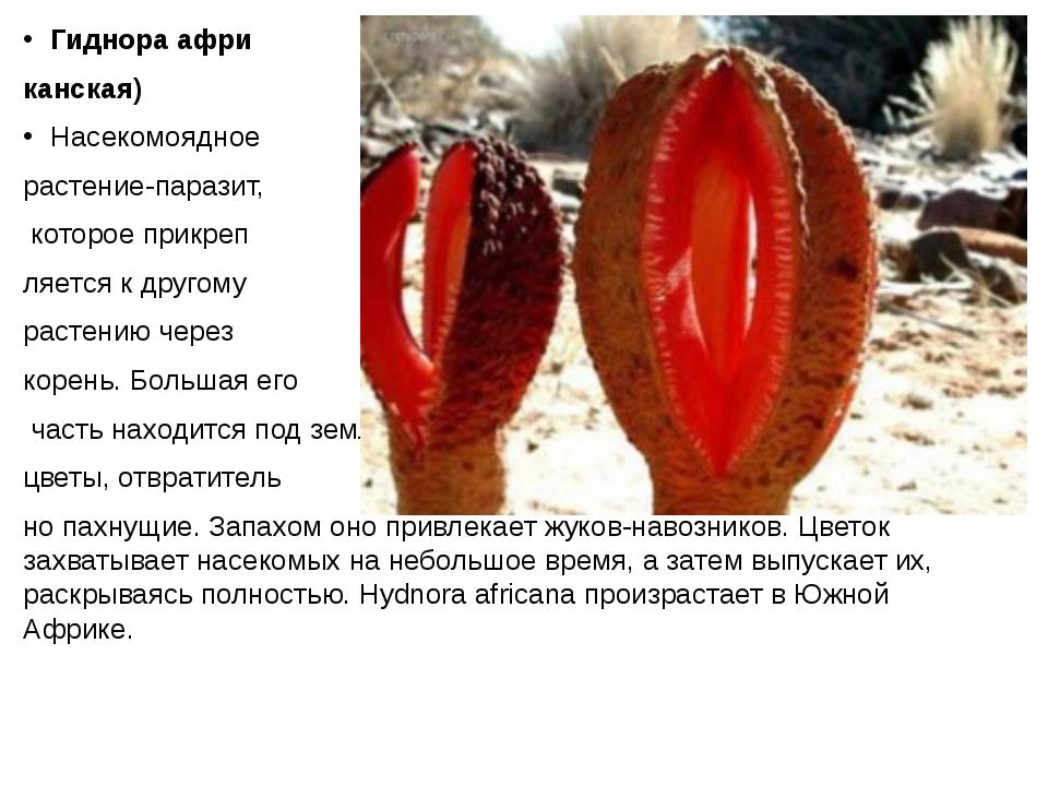 Гиднора афри канская) Насекомоядное растение-паразит, которое прикреп ляется...