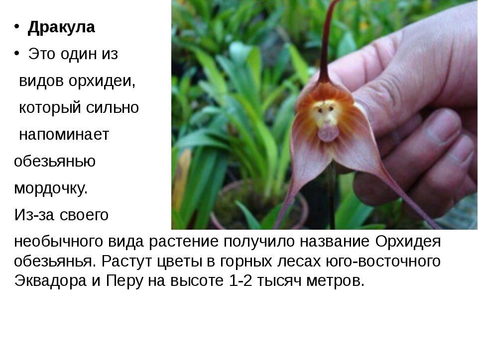 Дракула Это один из видов орхидеи, который сильно напоминает обезьянью мордо...