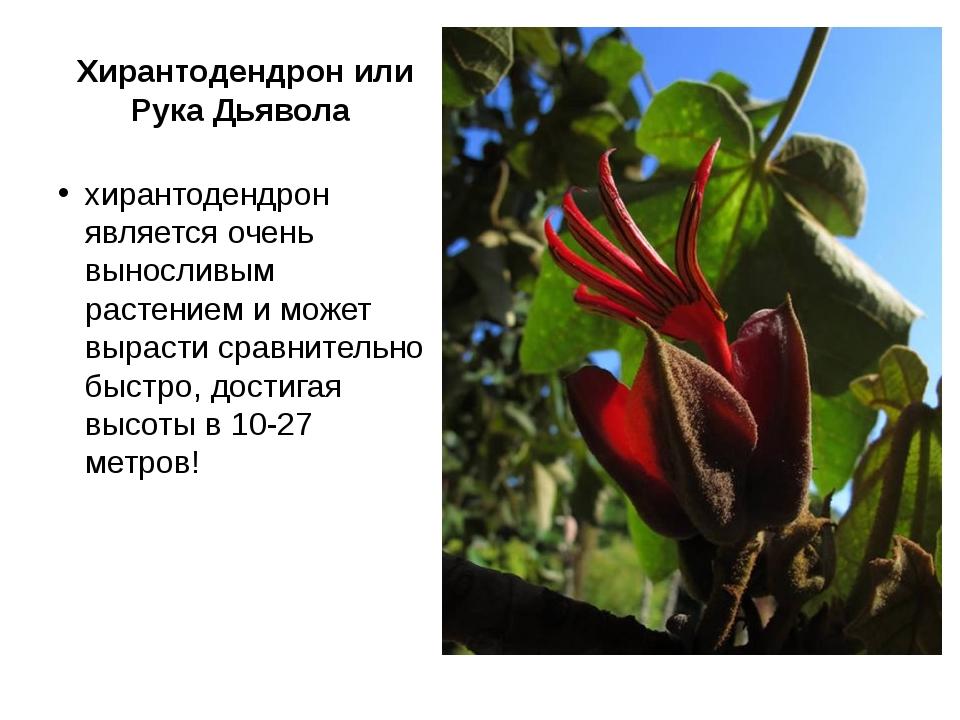 Хирантодендрон или Рука Дьявола хирантодендрон является очень выносливым раст...