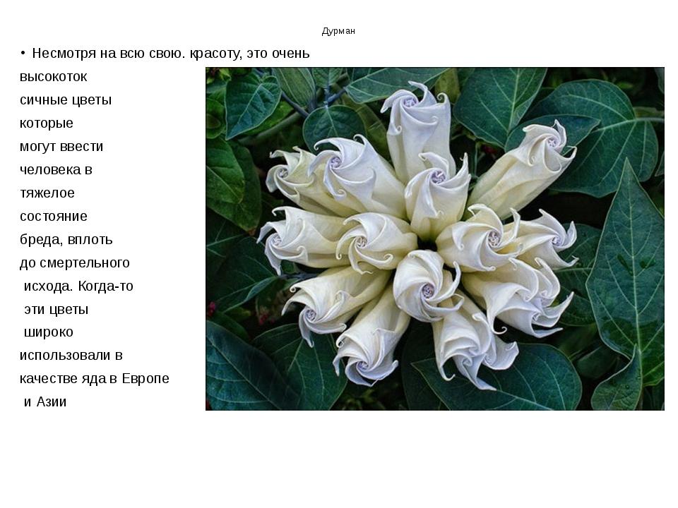 Дурман Несмотря на всю свою. красоту, это очень высокоток сичные цветы которы...