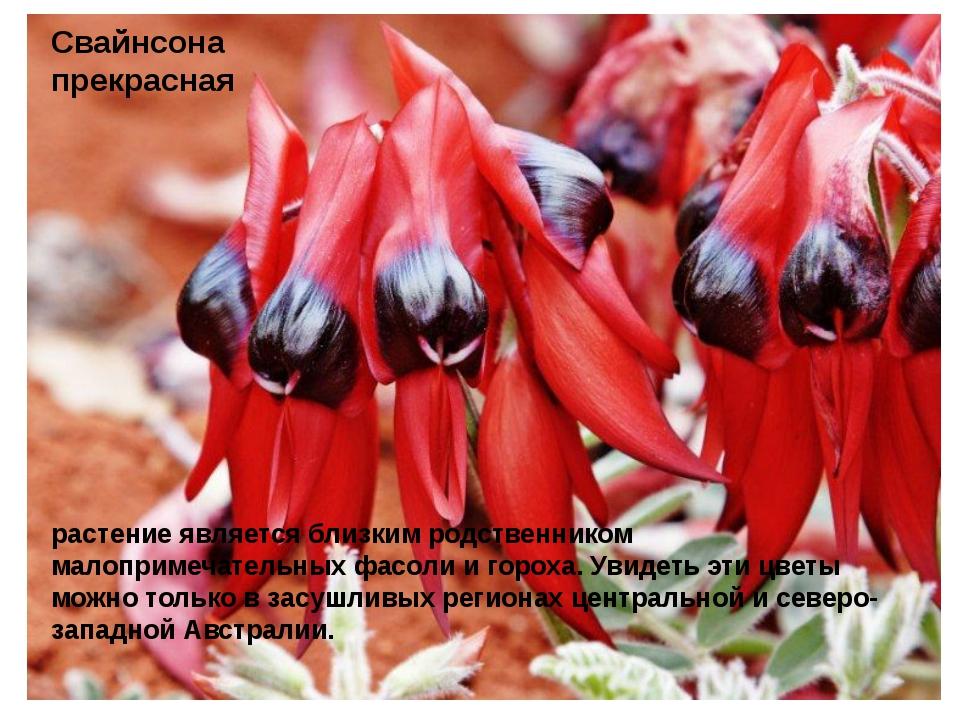 Свайнсона прекрасная растение является близким родственником малопримечатель...