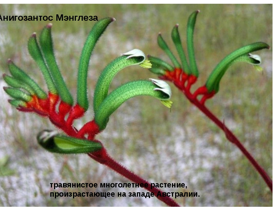 Анигозантос Мэнглеза травянистое многолетнее растение, произрастающее на зап...