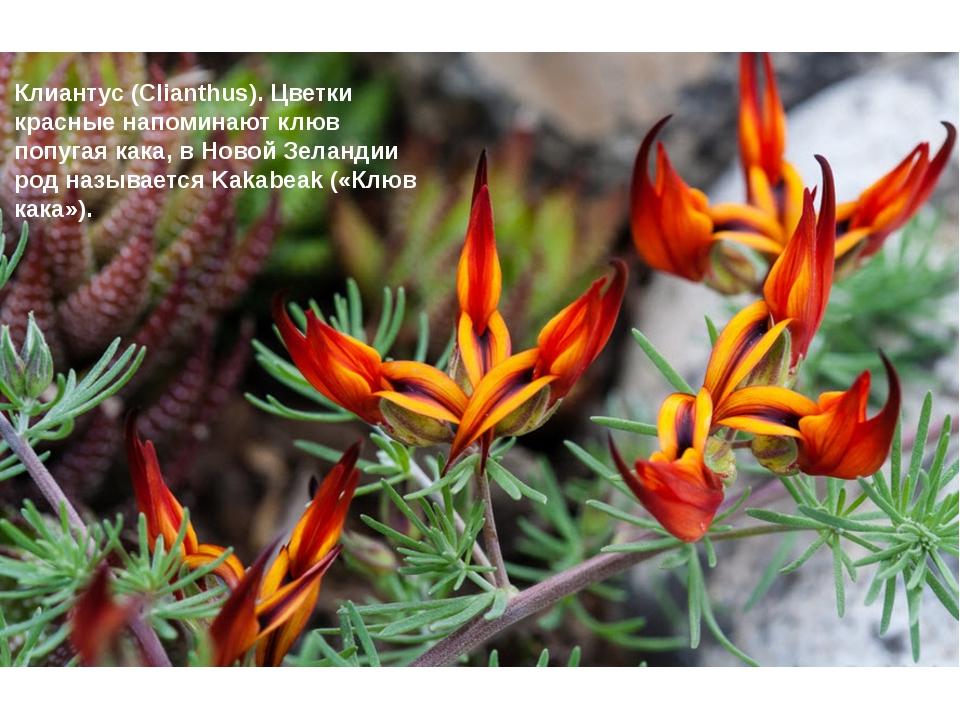 Клиантус (Clianthus). Цветки красные напоминают клюв попугая кака, в Новой З...
