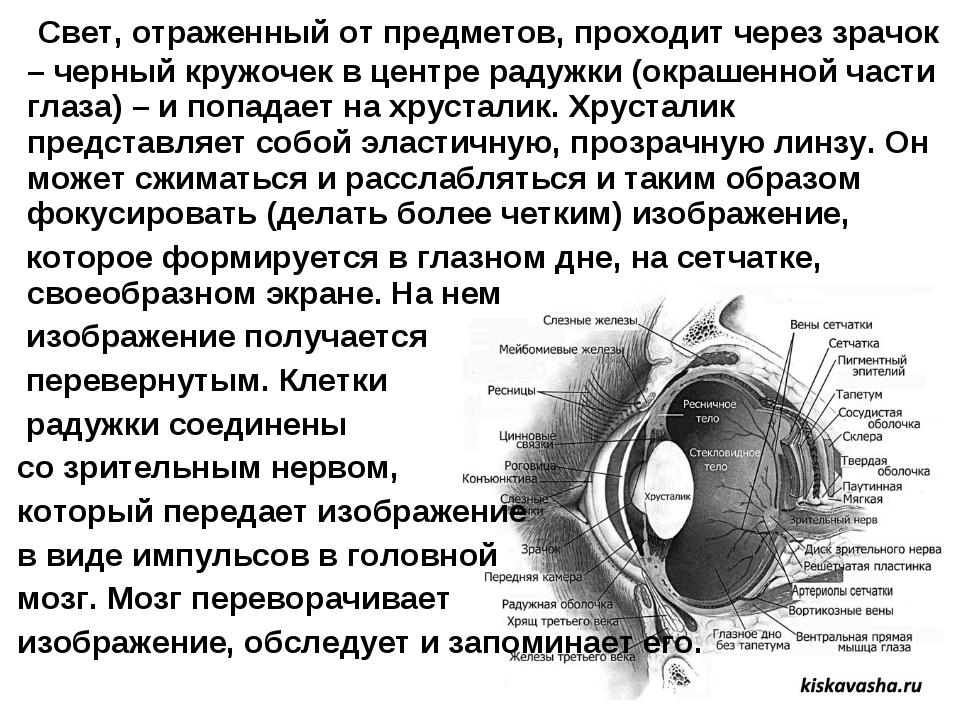 Свет, отраженный от предметов, проходит через зрачок – черный кружочек в цен...