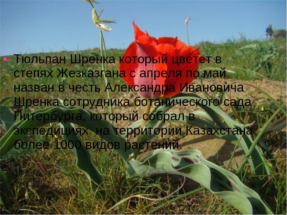 Тюльпан Шренка который цветет в степях Жезказгана с апреля по май назван в че...