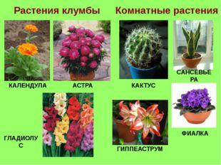 Растения клумбы Комнатные растения КАЛЕНДУЛА АСТРА КАКТУС САНСЕВЬЕРА ГЛАДИОЛУ