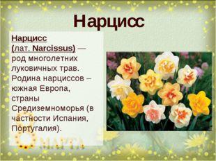 Нарцисс Нарцисс (лат.Narcissus)— род многолетних луковичных трав. Родина на