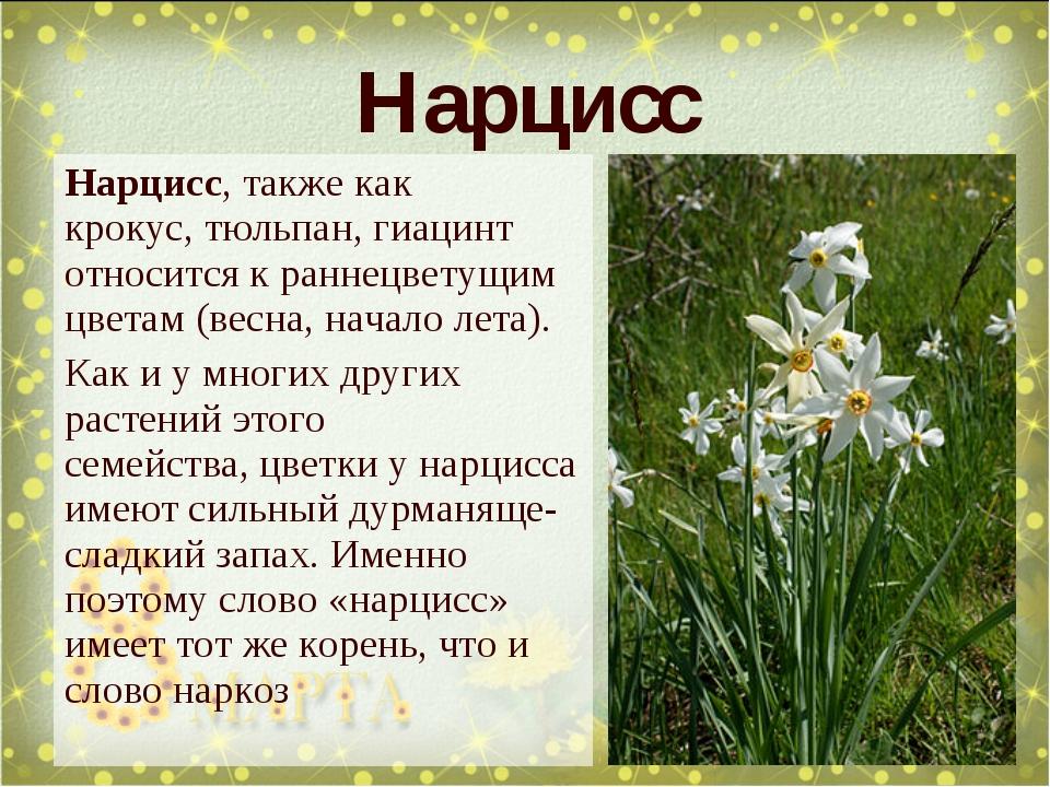 Нарцисс, также как крокус,тюльпан, гиацинт относится к раннецветущим цветам...