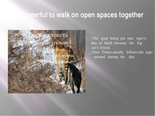It's cheerful to walk on open spaces together .- -The goat being put into tig...