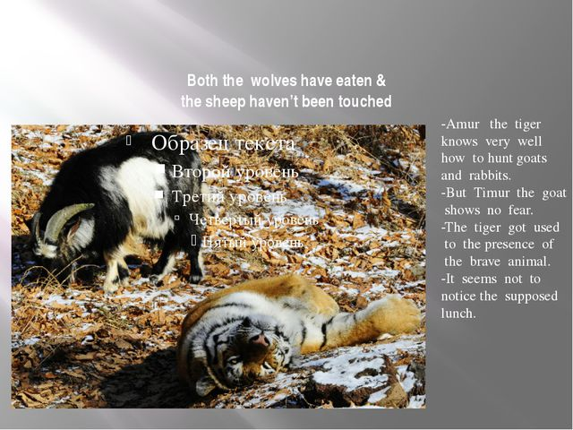 Both the wolves have eaten & the sheep haven't been touched -Amur the tiger k...