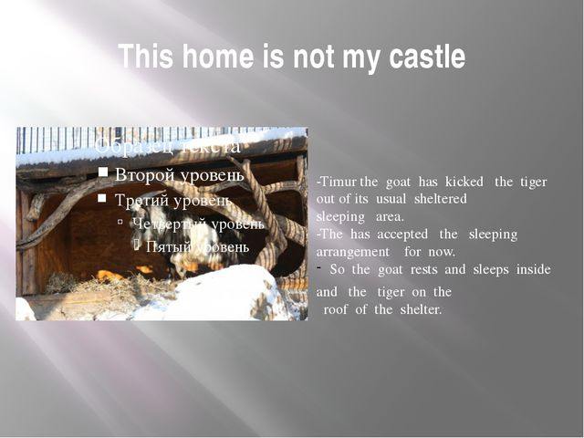 This home is not my castle -Timur the goat has kicked the tiger out of its us...