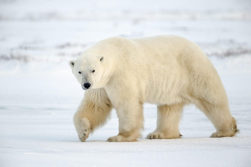 http://nature-animals.ru/images/stories/polar_bear.jpg