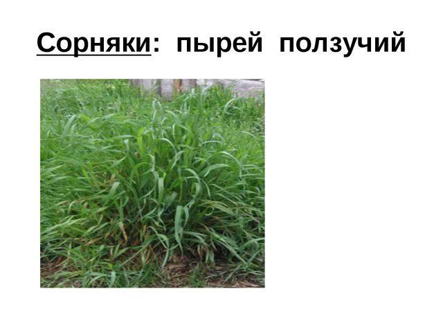 Сорняки: пырей ползучий
