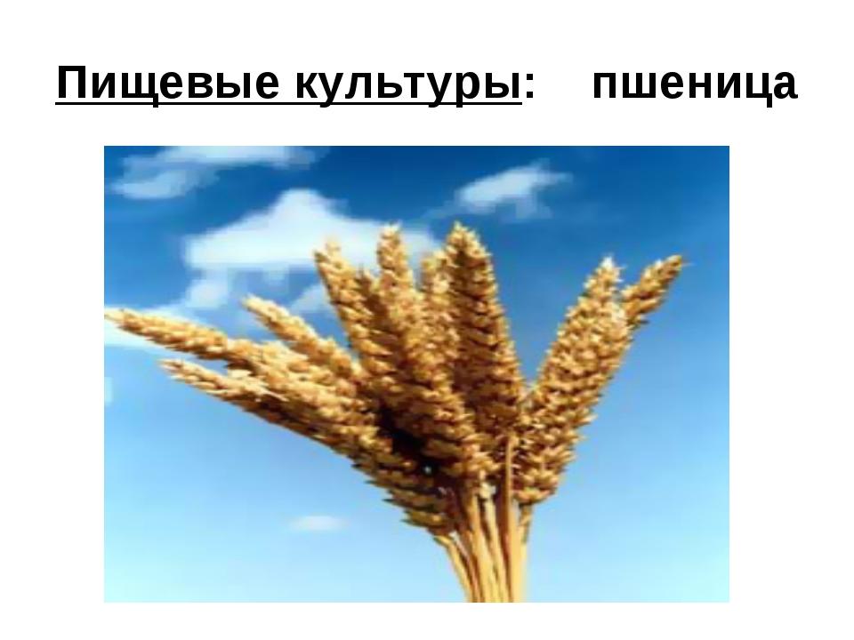 Пищевые культуры: пшеница