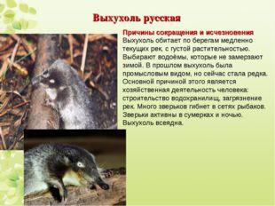 Выхухоль русская Причины сокращения и исчезновения Выхухоль обитает по берега