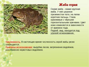 Жаба серая Серая жаба - самая крупная жаба. У неё широкое приземистое тело, н