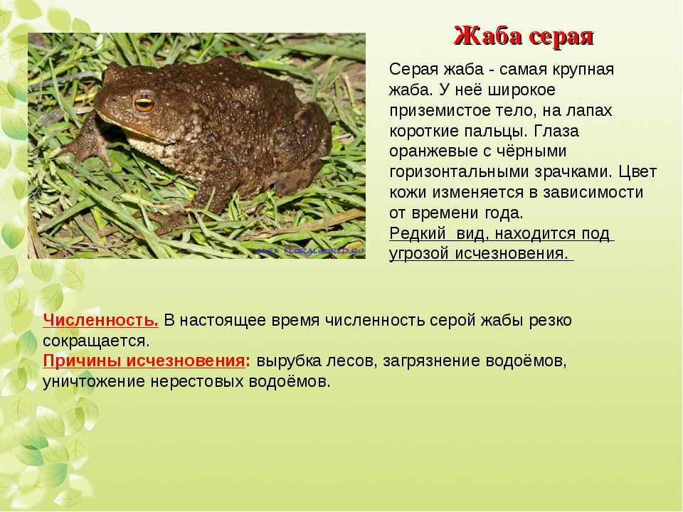 Жаба серая Серая жаба - самая крупная жаба. У неё широкое приземистое тело, н...