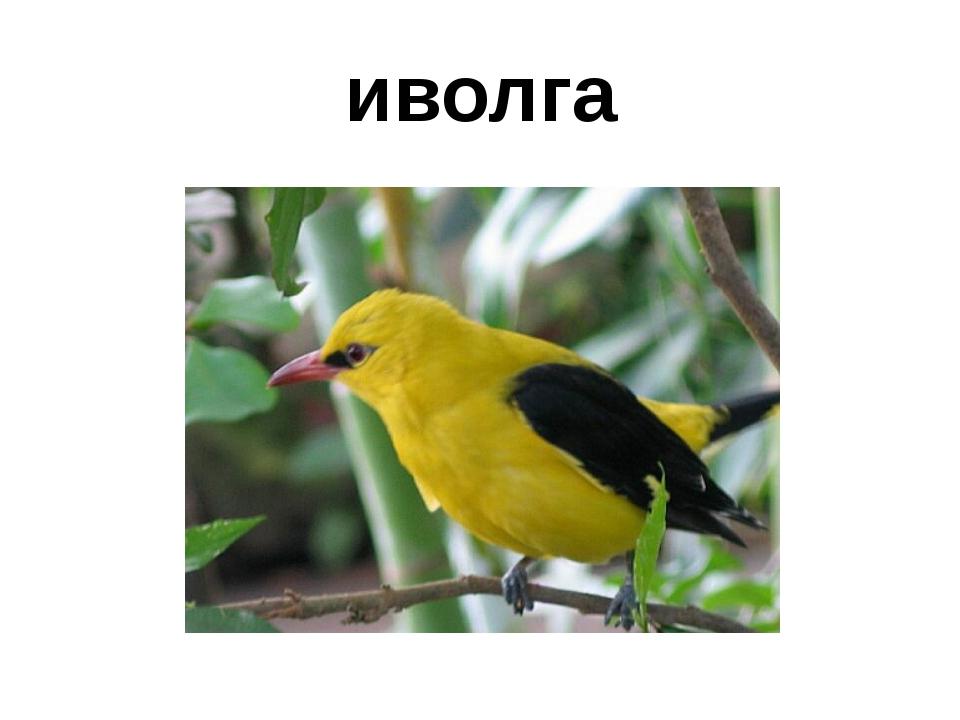 иволга