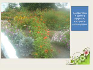 Декоративная капуста эффектно смотрится среди цветов