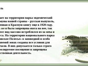Выхухоль Обитает на территории парка эндемический вид фауны нашей страны – ру