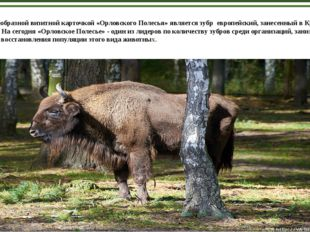 Своеобразной визитной карточкой «Орловского Полесья» является зубр европейск