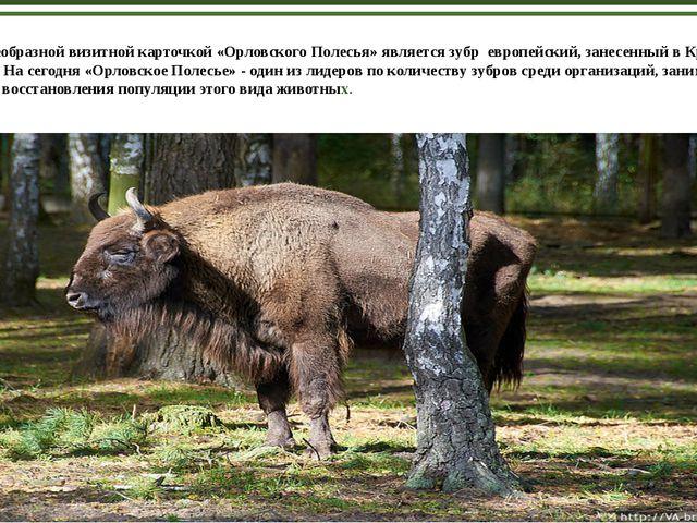 Своеобразной визитной карточкой «Орловского Полесья» является зубр европейск...
