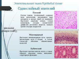 Однослойный эпителий Эпителиальная ткань/Epithelial tissue