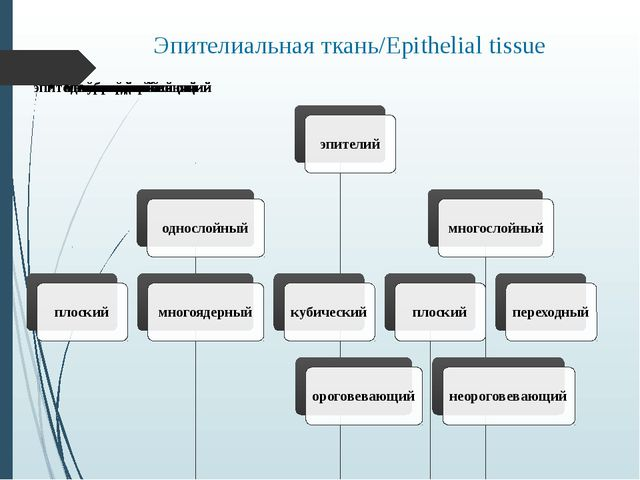 Эпителиальная ткань/Epithelial tissue
