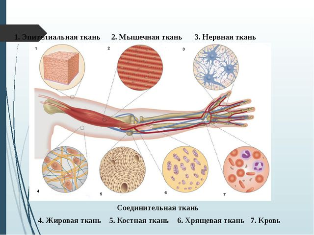 3. Нервная ткань Соединительная ткань 4. Жировая ткань 5. Костная ткань 6. Хр...