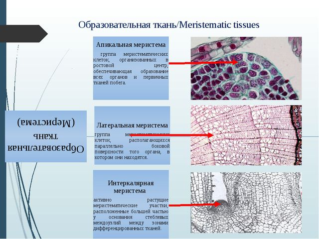 Образовательная ткань/Meristematic tissues