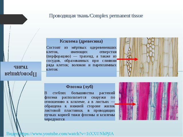 Проводящая ткань/Complex permanent tissue Видео https://www.youtube.com/watch...