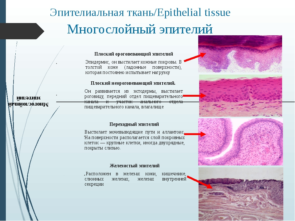 Многослойный эпителий Эпителиальная ткань/Epithelial tissue