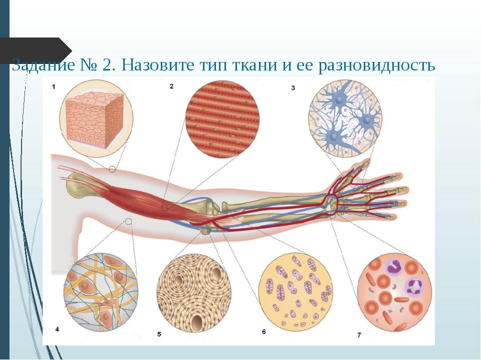 Задание № 2. Назовите тип ткани и ее разновидность