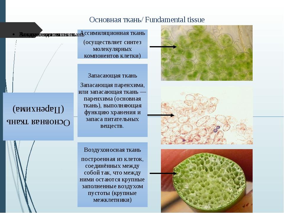 Основная ткань/ Fundamental tissue